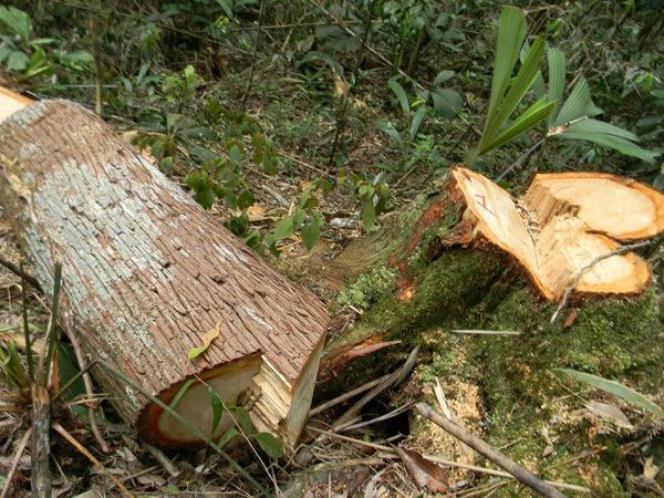 phá rừng pơ mu, Thủ tướng yêu cầu điều tra, Bộ Công an điều tra vụ phá rừng, Quảng Nam