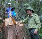 Lộ diện chủ mưu 'tập đoàn' phá rừng pơ mu xuyên quốc gia