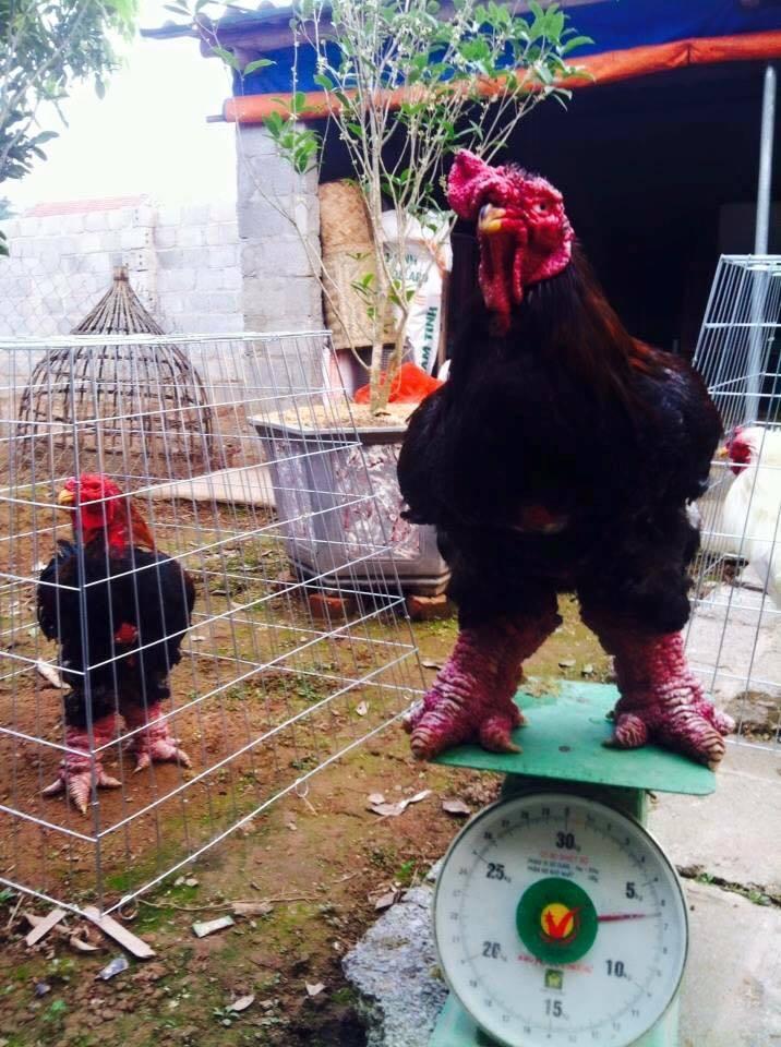 Hiếm có đất Việt: Cặp chân gà nặng 1kg/chiếc