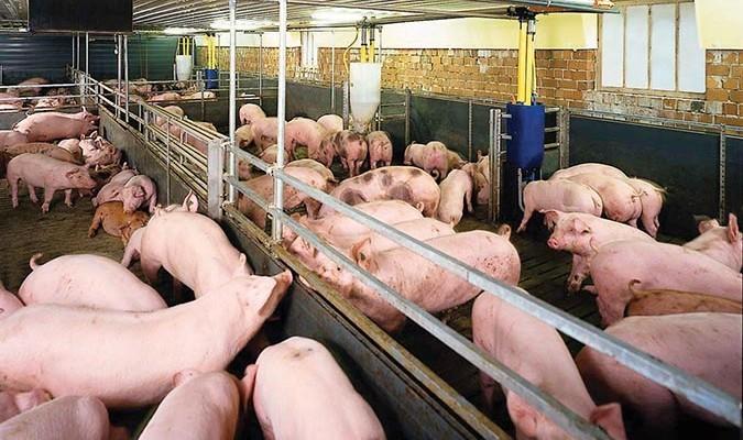 Phát hiện 7 mẫu lợn ở Hà Nội có chất cấm