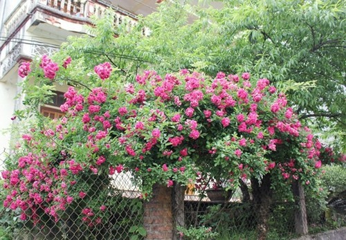 hoa hồng leo, thiết kế cổng nhà, nhà đẹp