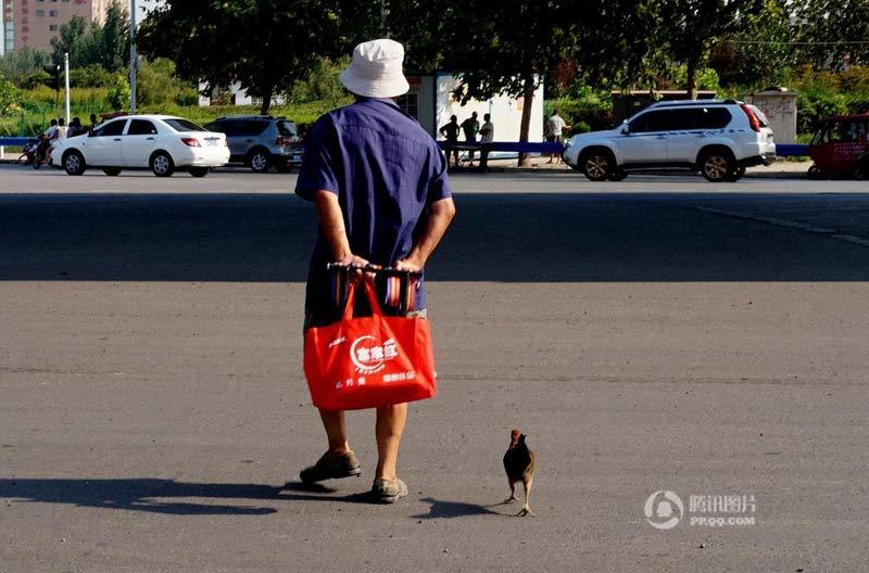 Kỳ lạ cụ ông 80 tuổi coi gà như bạn thân