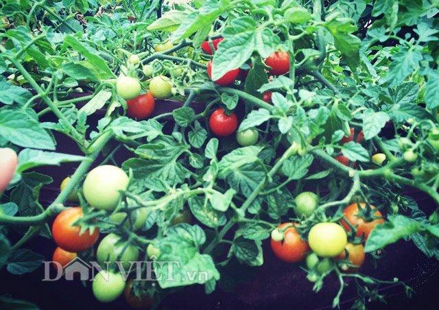Mẹ Việt trồng rau quả tốt um nhờ bã thuốc bắc 'thần thánh'