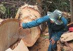 Tan hoang rừng pơ mu ngay trong khu bảo tồn thiên nhiên
