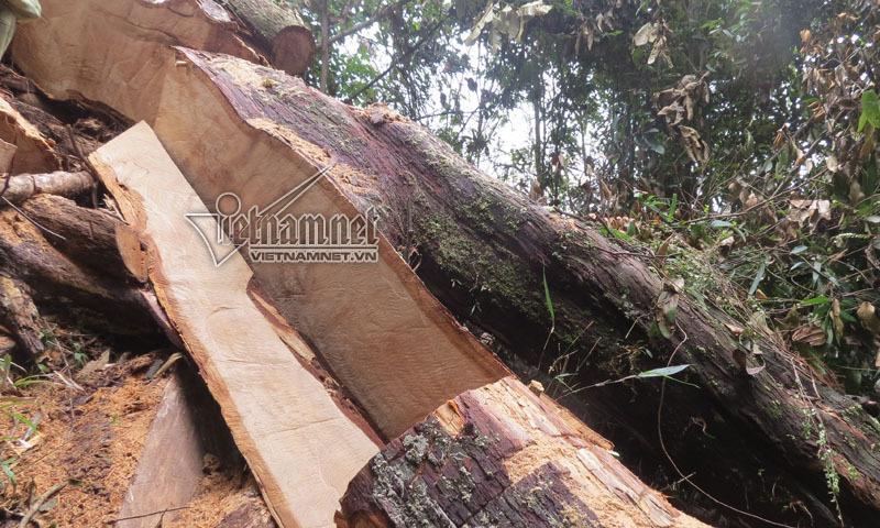 gỗ pơ mu, pơ mu, lâm tặc, phá rừng, khu bảo tồn Pù Hoạt