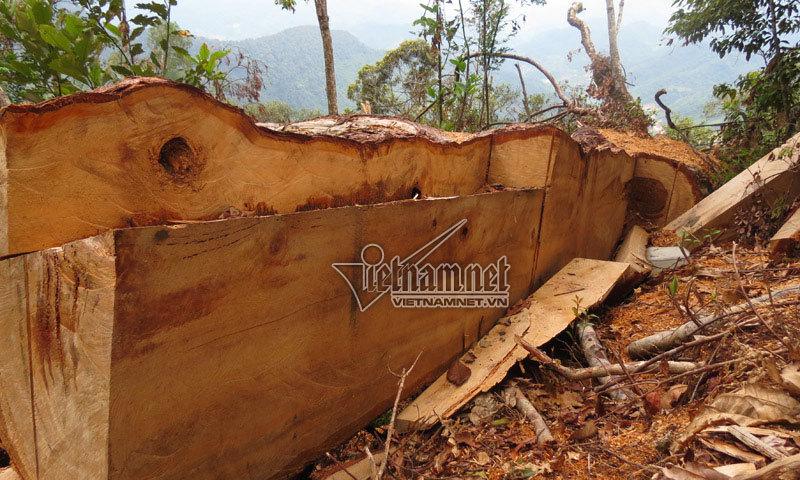Kiểm lâm thừa nhận vụ phá rừng pơ mu là mới