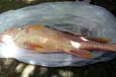Câu được cá sủ vàng quý hiếm giá hơn trăm triệu đồng