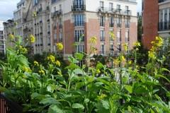 Việt kiều Pháp trồng rau trên ban công hơn một mét vuông