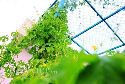 Giàn khổ qua rừng xanh mướt lủng lẳng trên nóc nhà phố