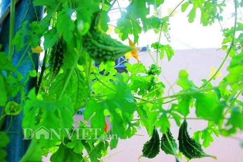 trồng khổ qua, khổ qua rừng, vườn cây sân thượng, trồng rau sân thượng