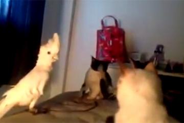 Chú vẹt khiến đàn mèo kinh ngạc