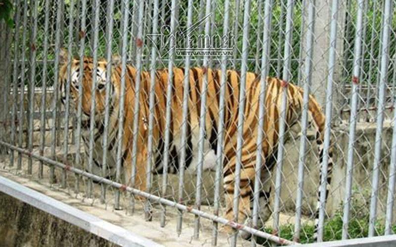 hổ, buôn bán hổ, nuôi hổ, cấp phép nuôi hổ, Công ty TNHH Bạch Ngọc Lâm