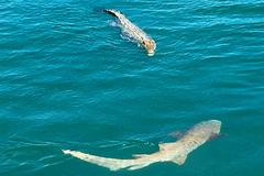 Sát thủ đại dương chạm trán cá sấu 'khủng', người xem nín thở
