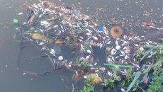 TT-Huế: Cá chết nổi đầy sông An Cựu sau trận mưa lớn