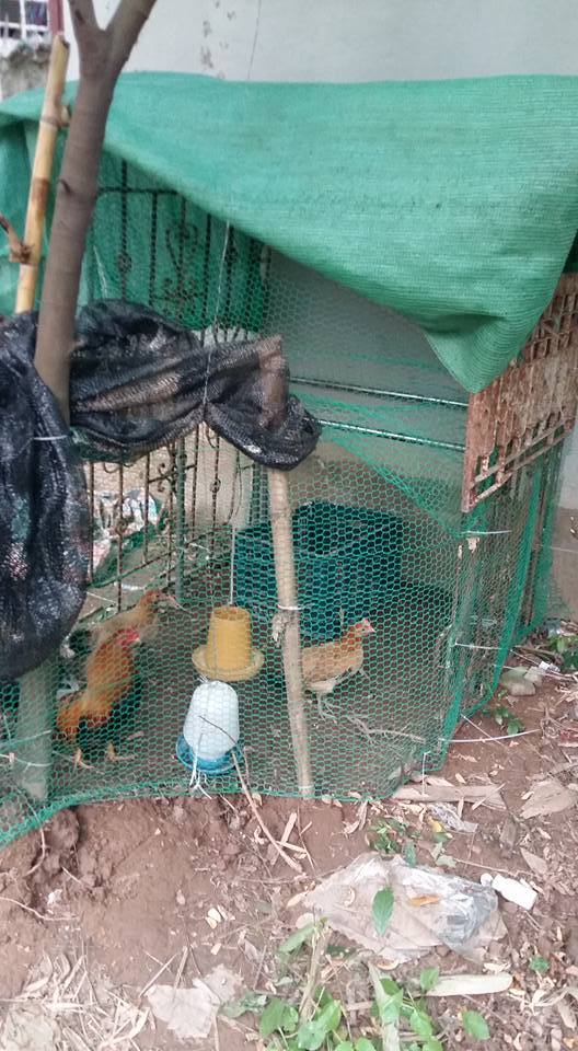 Khu vườn, rau xanh, quả sạch, nuôi gà, Thủ đô, ban công, trồng rau, rau sạch, Hà Nội, bà mẹ, vườn rau