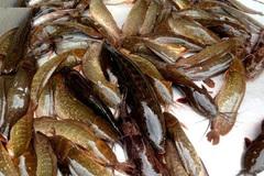 Cá trê trắng bị 'hô biến' thành cá trê vàng nhờ hóa chất