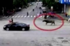 Trâu lạ điên cuồng truy sát người trên phố, 13 người bị thương