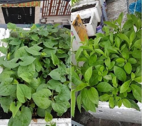 trồng rau sạch, vườn rau ban công, trồng rau sân thượng, trồng rau thùng xốp