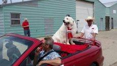 Chú chó 3 năm liên tiếp trúng cử thị trưởng