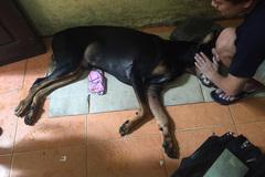 Nhiều rủi ro khi mua chó Doberman ở Việt Nam