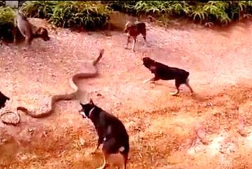 Đàn chó vây hổ mang chúa 'khủng', xé xác từ 5 hướng
