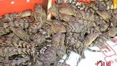 Thu giữ gần 1.000 con cá sấu ở biên giới Việt-Trung