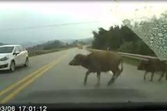 Đang lái xe gặp trâu bò, chó chạy ngang đường: Tránh cách nào?