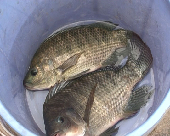 Thực hư chuyện cá rô phi nuôi bằng thuốc trừ sâu
