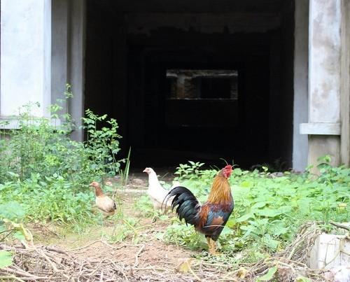 biệt thự triệu đô, biệt thự bỏ hoang, biệt thự làm nơi trồng rau, nuôi gà