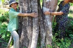 Kỳ lạ cây dó bầu 'khủng' nhất miền Trung, trị giá gần nửa tỷ đồng