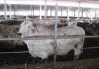 Tuồn 500 con trâu bò, lợn bơm nước ra chợ mỗi ngày