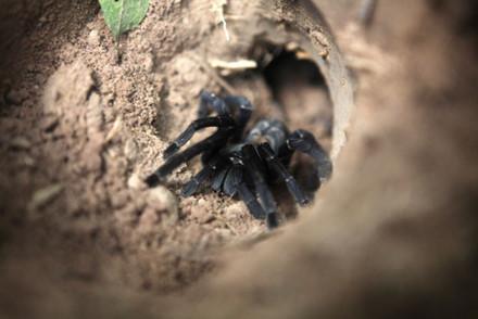 Rùng mình với món nhậu đặc sản nhện đen 'khủng'