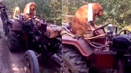 Phát sốt với chú chó lái công nông giúp chủ