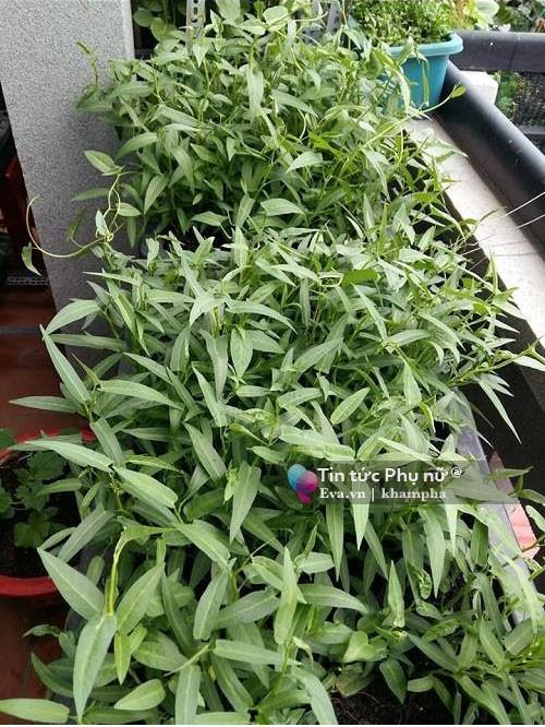 trồng rau sạch, trồng rau ban công, trồng rau thùng xốp