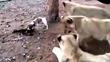 3 sư tử choáng váng vì bị chó nhà tấn công