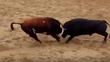 Cú húc kinh hoàng, 2 bò tót cùng chết gục