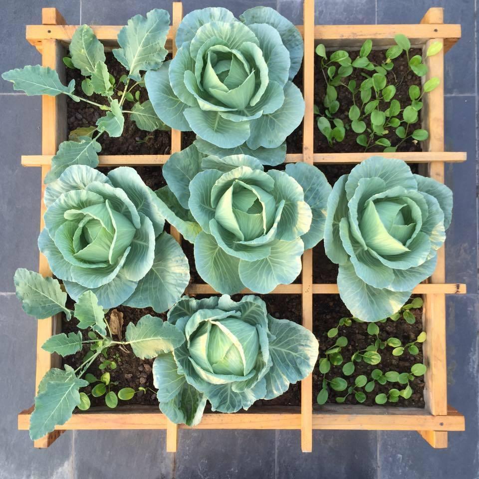 Trồng rau, rau củ, rau ăn, bắp cải, su hào, cải ngọt, cà rốt, rau sạch, ban công, vườn rau,