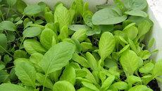 Trồng 7 loại rau củ này, bạn sẽ chẳng lo thiếu rau ăn suốt mùa đông