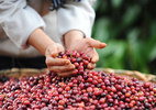Cà phê trộn đậu nành vẫn đạt chuẩn an toàn?