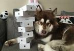Thiếu gia mua 8 chiếc iPhone 7 tặng cún cưng
