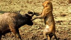 Trâu rừng cuồng nộ húc bay sư tử cái cứu bạn