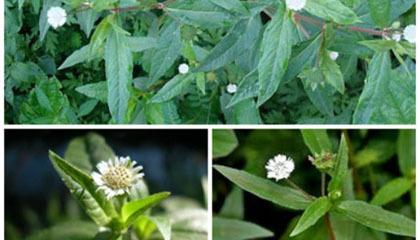 """3 loại cây dại từng bị hắt hủi hóa thuốc quý nên """"thủ sẵn"""" trong nhà"""