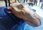 Cá tra 'khủng' hơn 200kg từ Campuchia về Sài Gòn