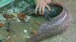 Câu được cá trê 'khủng' dài gần 1 mét