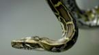 Hậu quả khủng khiếp vì 'tự sướng' với rắn khổng lồ
