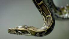 10 clip nóng: Hậu quả khủng khiếp vì 'tự sướng' với rắn khổng lồ