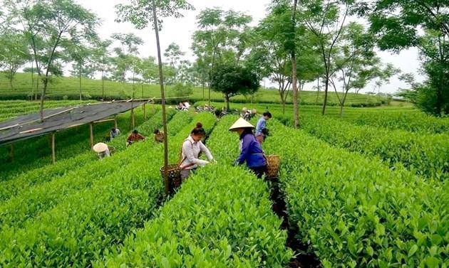 chè an toàn, Trịnh Xuân Thanh, kinh doanh chè, hữu cơ, thuốc bảo vệ thực vật, phân bón hóa học, chè sạch, chè khô