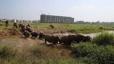 Đàn trâu nghỉ trưa trong khu biệt thự nghìn tỷ