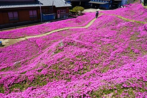 vườn hoa, trồng hoa tặng vợ, vườn hoa oải hương