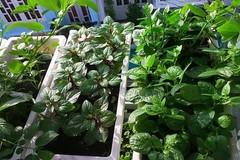 Vườn rau vỏn vẹn 8m² nhưng có tới 40 thùng rau các loại của bà mẹ trẻ ở Sài Gòn